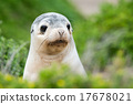 newborn australian sea lion on bush background 17678021