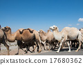 Herd of camels crossing the street 17680362