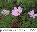 Cosmos flowers to inform autumn began to bloom 17681555