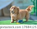 臘腸犬 戶外 動物 17684125
