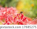 红蜻蜓 植物人 彼岸花 17685275