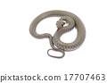 snake 17707463
