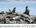 Sea lion of La Jolla 17721181