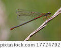 red black dragonfly coenagrion puella 17724792