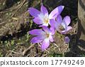 Corticam(狗藏红花) 17749249