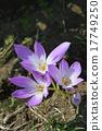 Corticam(狗藏红花) 17749250