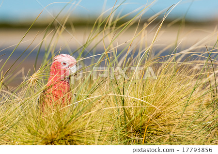 australia red and white parrot cacatua portrait 17793856