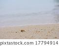 寄居蟹 沙灘 植物學 17794914