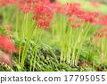花卉 开花 彼岸花 17795055