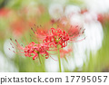 花卉 水滴 彼岸花 17795057