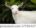 mammalian mountain goat 17795437