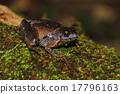 Berdmore's Chorus Frog Microhyla berdmorei 17796163