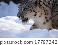 猫科 雪豹 豹 17797242