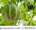 Ornamental gourd or Pumpkin on its tree 17800945