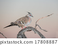Australia dove on a tree 17808887