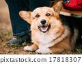 Close up portrait of young Happy Welsh Corgi dog 17818307