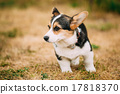 Close up portrait of young Happy puppy Welsh Corgi 17818370