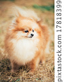 Portrait of Red Pomeranian Spitz  Small Dog 17818399