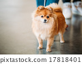 Red Pomeranian Spitz  Small Dog On Floor 17818401