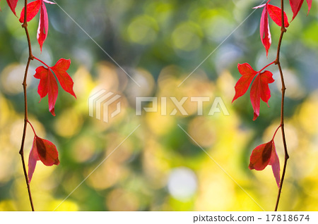 bright autumn foliage of red ivy 17818674
