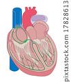 心臟的結構 17828613