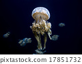 Jellyfish 17851732