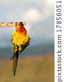 Bird,Sun conure parrot ,pet 17856051