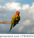 Bird,Sun conure parrot ,pet 17856054