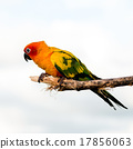 Bird,Sun conure parrot ,pet 17856063