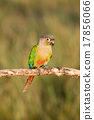 Bird,Sun conure parrot ,pet 17856066