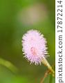 Mimosa flowers. 17872214
