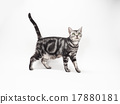 american shorthair, animal, animals 17880181