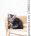 在藤條椅子的一隻美國短髮小貓 17880211