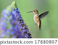 Hummingbird 17880807