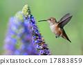 Hummingbird 17883859