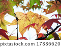 Autumn maple leaves 17886620