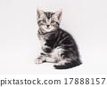 微笑的美國短髮小貓 17888157