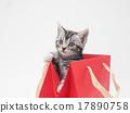 從紅色紙袋出來的美國短髮貓咪貓 17890758