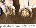 土豆 豐收 收穫 17902271