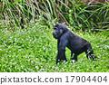 嬰兒 寶寶 大猩猩 17904404