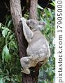 koala bear, koala, australia 17905000