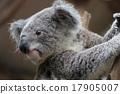 koala bear, koala, australia 17905007