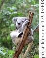 koala bear, koala, australia 17905008
