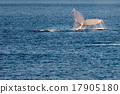 Humpback whales swimming in Australia 17905180