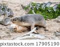 newborn australian sea lion on sandy beach 17905190