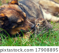 Big dog take care of little kitten on the grass 17908895
