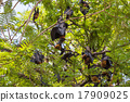 Flying foxes hanging on trees. 17909025