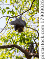 Flying foxes hanging on trees. 17909026
