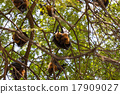 Flying foxes hanging on trees. 17909027