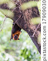 Flying foxes hanging on trees. 17909030